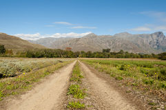 Dirt road between lavendar fields not in bloom. A dirt road centered between lavendar fields during winter with mountains in the background when flowers are not Stock Photos