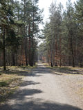 Dirt road leading through a forestry plantation. With evergreen coniferous trees to supply the timber and logging industries as a renewable natural resource Stock Photos