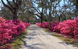 Savannah GA Bonaventure Cemetery Road. A dirt road, lined by pink blooming azalea bushes, leads through historic Bonaventure Cemetery near Savannah, Georgia Stock Images