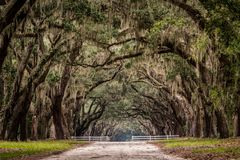 Dirt Road Through Live Oak Tree Tunnel Stock Images