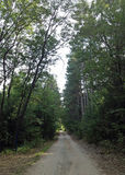 Dirt Road with Northern Pines Royalty Free Stock Photography