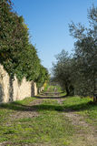 A dirt road in an olive grove along a stone fence Royalty Free Stock Photography