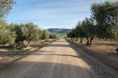 Dirt road between olive groves Royalty Free Stock Images