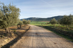 Dirt road between olive groves Royalty Free Stock Photography