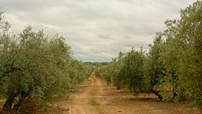 Dirt road in between olive groves in  Sierra Nevada mountains under a cloudy  sky,. Dirt road in between olive groves in  Sierra Nevada mountains under a cloudy Royalty Free Stock Image