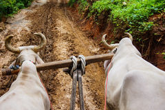 Dirt Road Oxen Cart Royalty Free Stock Photo