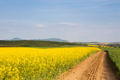 Dirt road passing through rapeseed field Royalty Free Stock Image