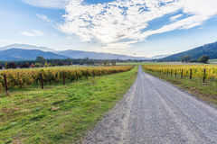 Dirt road passing through vineyard in Autumn. Australian country Royalty Free Stock Image