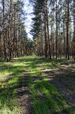 Dirt road passs between the pine trees Royalty Free Stock Photos