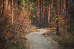 Dirt road in pine autumn forest. Royalty Free Stock Images