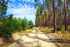 Dirt road through pine forest Stock Image