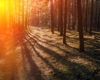 Dirt road in a pine forest Royalty Free Stock Image