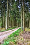 Dirt road through a pine forest. Dirt road leading through a forest with tall pine trees near Malmedy in the Belgian Ardennes Royalty Free Stock Image