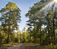 Dirt road in a pine forest Royalty Free Stock Photo