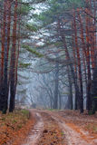 Dirt road in pine forest Stock Image