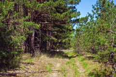 Dirt road in a pine forest Stock Photography