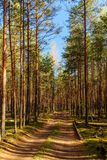 Dirt road in a pine forest. On a sunny day Stock Photos