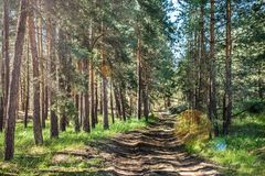Dirt road in the pine forest. Dirt road in a pine forest on a sunny morning stock photo