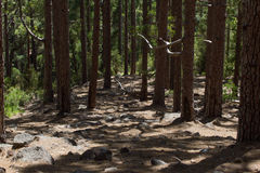 Dirt road in pine forest, Tenerife, Pinolere, Canary island. Pinus canariensis Stock Photo