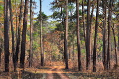 Dirt Road through the pine forest at Thung Salang Luang National Stock Photography