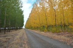 Green and yellow Aspens on Central Oregon tree Farm. A dirt road separates green and yellow Aspens on a tree farm in Central Oregon royalty free stock photography