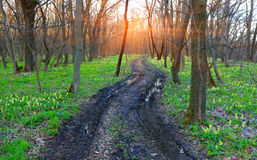 Dirt road in spring forest Stock Image