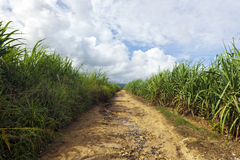 Dirt road through sugar cane plantation Stock Photo