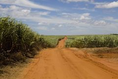 Dirt Road Through Sugar. A dirt road runs through a sugar plantation in Paraguay royalty free stock photo