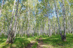 Dirt road in the summer birch forest in sunny day Royalty Free Stock Images