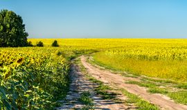 Dirt road in a sunflower field in Russia royalty free stock image