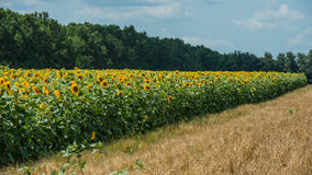 Dirt road in a sunflower field Stock Image