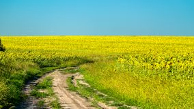 Dirt road in a sunflower field in Russia royalty free stock images