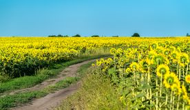 Dirt road in a sunflower field in Russia stock image