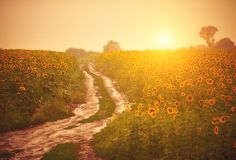 Dirt road in the sunflower field at sunset. Dirt road after the rain in the sunflower field at sunset Stock Image