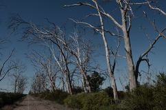 Dirt road surrounded by dry trees. On a sunny day without clouds Royalty Free Stock Photo
