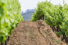 Way between vineyards. Dirt road surrounded by vineyards stock image