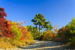 Dirt road to the relict pine Royalty Free Stock Photography