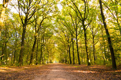 Dirt road with tree trunks in autumn, Netherlands Royalty Free Stock Image