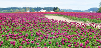 Dirt Road in the Tulip Field Stock Photos