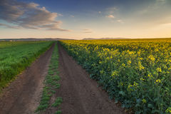Dirt road between two fields with rapeseed and wheat Stock Photo