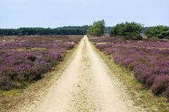 Dirt road in a heather landscape. Dirt road in Veluwe heather landscape in the Netherlands Royalty Free Stock Photos