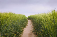 Dirt road in the wheat field spring landscape - Horizontal close. Dirt road in the wheat field summer landscape a cloudy day Stock Image
