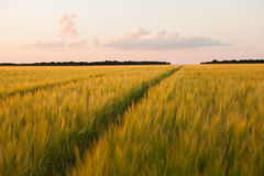 Dirt Road in a wheat field Stock Photography