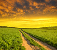 Dirt road in wheat field at sunset. Royalty Free Stock Image