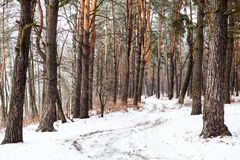 Dirt road in the winter coniferous forest Royalty Free Stock Photo