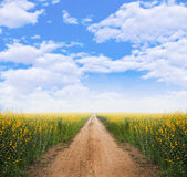 Dirt road into yellow flower fields. With clear blue sky Stock Image