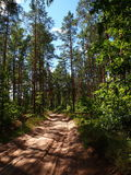 The dirt sandy road. In the pine wood Royalty Free Stock Image