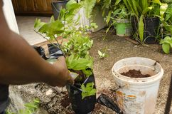 Planting Key LIme Plants stock photography
