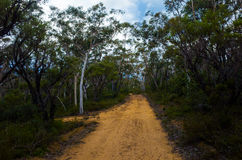Dirt Track Leading Through a Forest of Eucalyptus trees Royalty Free Stock Photography