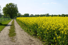Dirt track with rapeseed or canola field Royalty Free Stock Image